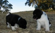 Extra Charming First Class Male And Female Akita Extra Charming