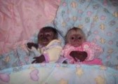 capuchin baby monkeys raised in our home for adoption