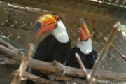 Breeding Pair of Toco Toucans.for any caring home