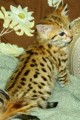 two savannah male and female kittens for adoption