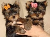 Cute Yorkie Now Available For Rehoming