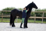 black male and female Well trained Freisian Horses for adoption