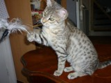 Savannah Kittens for Adoption