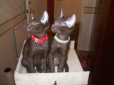 Havana Brown Kittens for adoption