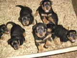 Rottweiler Puppies Fore Sale