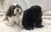 Shih Tzu puppies available for new home