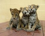 Gorgeous new baby Jaguah available for Sale.