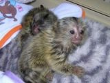 Lovely Marmoset Monkeys available